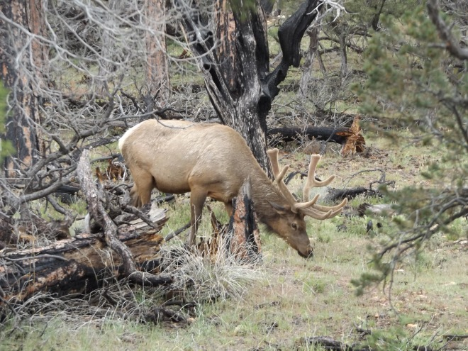 Bull Elk we saw while driving around at the Grand Canyon.