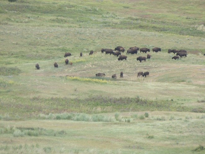 Bison in the National Bison Preserve.