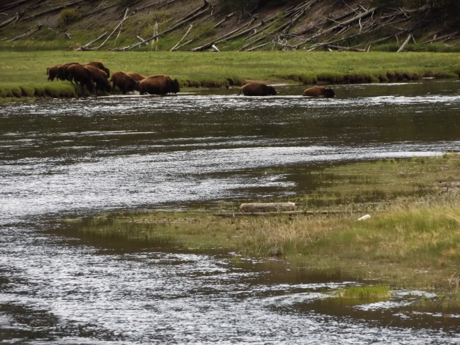Bison crossing a river.