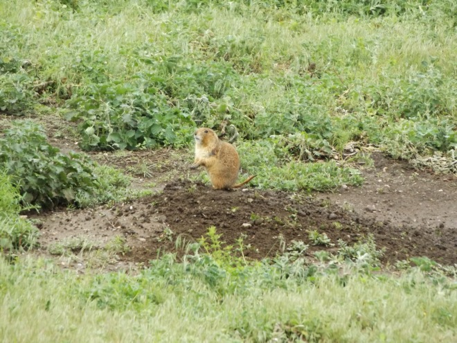 Prairie Dog - I had to work to get this good of a picture